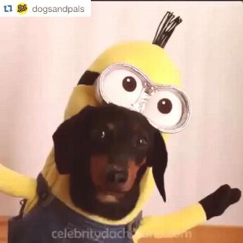 YOU'RE WELCOME! #Repost #MinionCostumes #DogsandPals